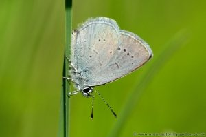 Small Blue Butterfly on grass stem, Tottenhoe Knowls, Bedfordshire