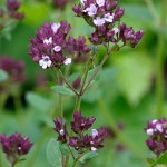Wild Marjoram (Origarno) attracts butterflies and Bees