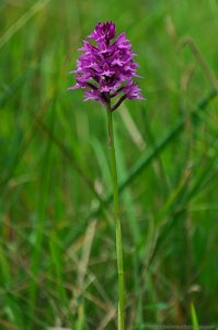 Pyramidal Orchid meadow Wild Flowers