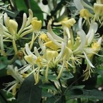 Honeysuckle Flowering climber