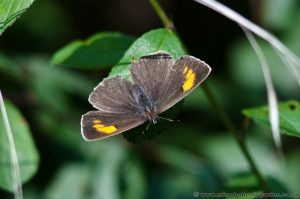 Brown Hairstreak Butterfly female with wings open