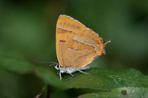 Brown Hairstreak on Blackthorn