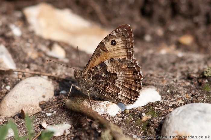 Grayling Butterfly (Hipparchia semele) in the sun