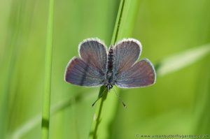 Small blue butterfly showing upper-wings