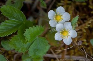 Wild Strawberry Plant showing leaves and yellow and white flowers