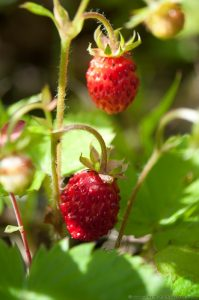 Wild Strawberry Plant with Red Berries