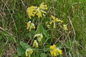 Cowslips (primula veris) yellow