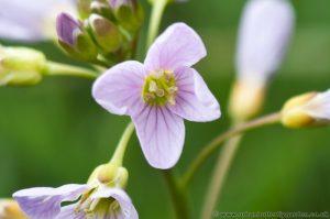 Cuckoo Flower (Cardamine pratensis) Spring Wild Flower