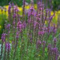 Purple loosestrife in flower garden