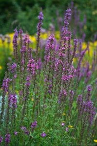 Purple loosestrife (Lythrum salicaria) in flower garden