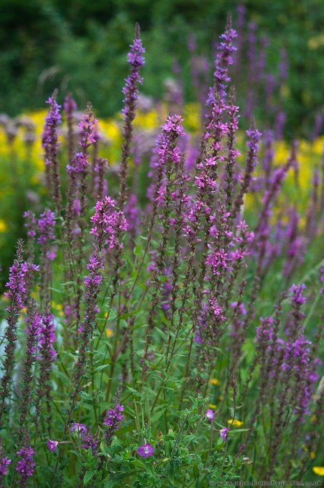 Purple loosestrife plants for a wildlife or water garden urban purple loosestrife lythrum salicaria in flower garden mightylinksfo