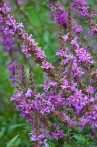 Purple loosestrife in wild flower garden