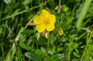 Rock-rose (halianthemum nummularium) Wildflower with yellow flowers