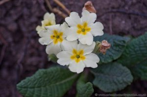 Wild Primrose flowers and leaves