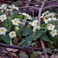 Wild Primrose (Primula vulgaris) flowering in woodland