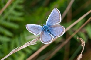 Male Silver-studded blue butterfly (Plebejus argus) wings open