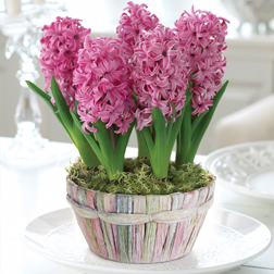 Hyacinth Scented Pink Basket, Christmas Gift