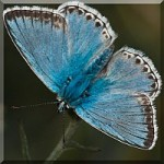 Blues - Lycaenidae