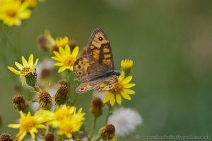 Wall Brown Butterfly on Ragwort September