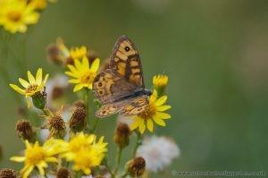 Wall Brown Butterfly on Ragwort September