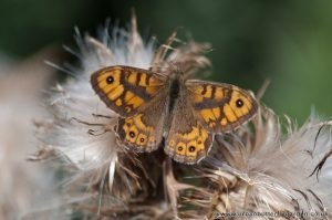 Wall Brown Butterfly - Male - Wiverton Down