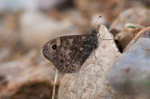 Wall Brown Butterfly Eye-Spots on Under-Wings