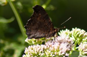 Peacock Butterfly nectaring on Hemp Agrimony in woodland showing under-wings