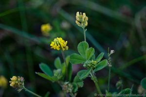 Black Medic (Medicago lupulina) Wildflower with small yellow flowers
