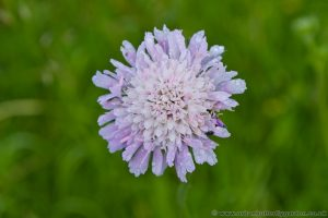 Field Scabious flower head
