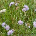 Scabious (Scabiosa sp) Field Scabious, Meadow butterflies