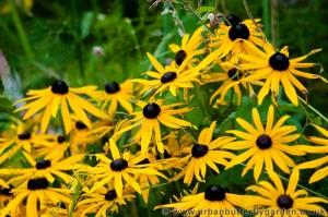 Coneflower, Rudbeckia, Black-eyed Susan, Urban Butterfly Garden