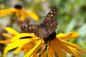Speckled Wood Butterfly on Rudbeckia, Coneflower