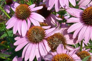 Coneflowers-Echinacea garden flowers butterflies bees pollinating insects