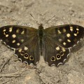 Speckled Wood Butterfly (Pararge aegeria) male resting on ground in sunshine