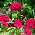 Sweet William and Swallowtail Butterfly