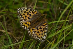 Dark Green Fritillary Butterfly (Argynnis aglaja) Female