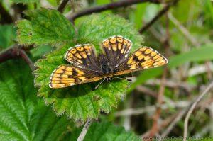 Duke of Burgundy Butterfly - Ivinghoe Beacon