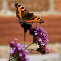 Small Tortoiseshell Butterfly-verbena bonariensis