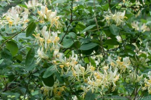 Common Honeysuckle (Lonicera periclymenum) Woodbine in flowering in Woodland, growing amongst Blackthorn and Wild Privet.