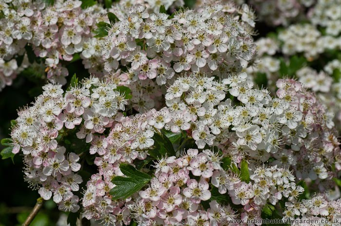 Hawthorn native shrub in hedgerows across britain urban for White flowering bush