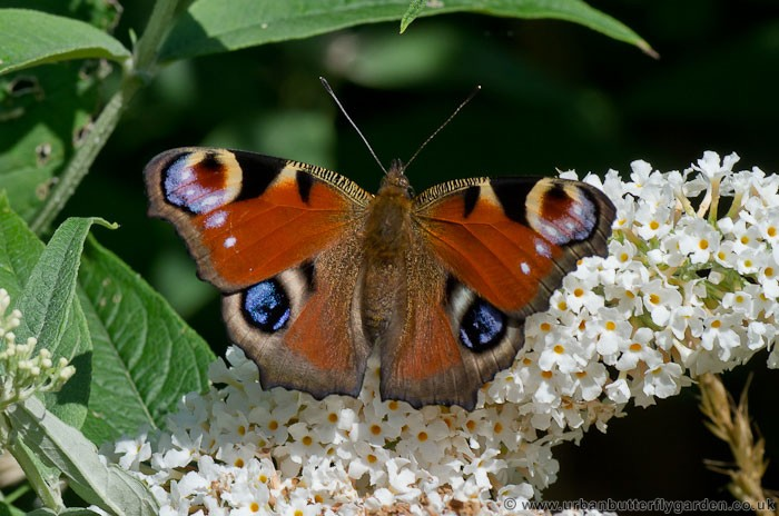 Peacock Butterfly In Garden, August