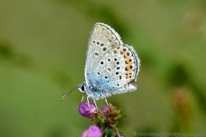 Male Silver-studded Blue (Plebejus argus) seen mid June on Bell Heather