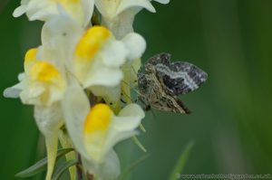 Toadflax Toadflax (Linaria vulgaris) closeup of moth on flowerson