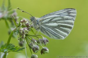 Green veined White Butterfly (Pieris napi) male on Wildflower