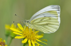Green-veined White Butterfly (Pieris napi) - Female on yellow Ragwort Flower