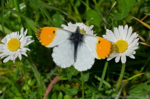Orange-tip Butterfly (Anthocharis cardamines) on common daises