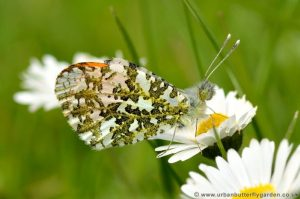 Orange-tip Butterfly on wild daisy flower in garden