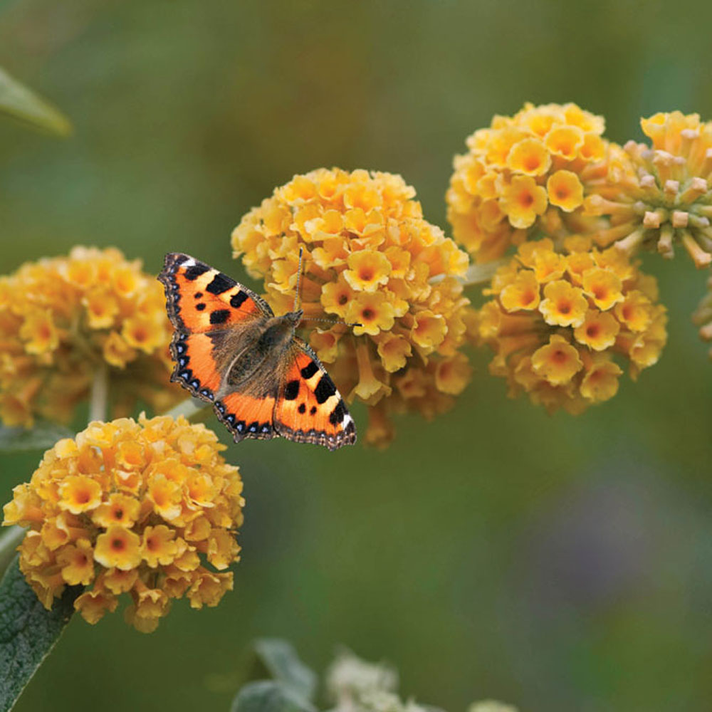 Buddleja Globosa Yellow Ball Buddleia Urban Butterfly Garden