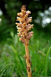 Knapweed Broomrape a parasitic wild flower