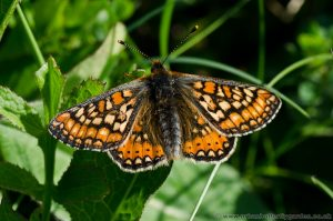 Marsh Fritillary Butterfly at Chambers Farm Wood